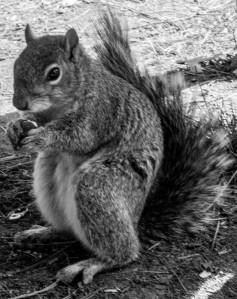 Showstar squirrel