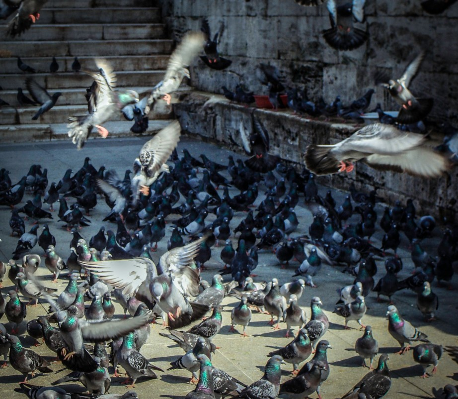 Hundreds of doves in Istanbul