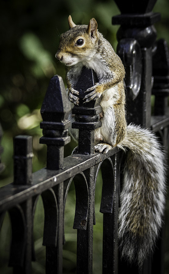 Color Photography: Squirrel on Fence