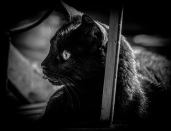 B&W portrait: black cat with tongue out